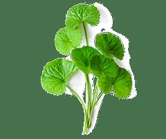 Organic centella asiatica