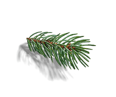 Spruce extract